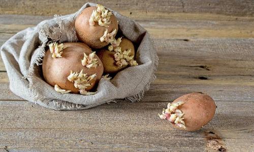 Можно ли употреблять в пищу проросший картофель